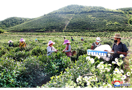 Kumdong Unjong Tea Plant Field