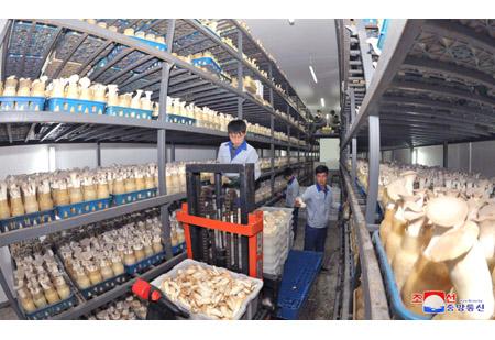 버섯을 더많이 생산하기 위해