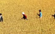N. Korean rice yields down 12%: UN FAO