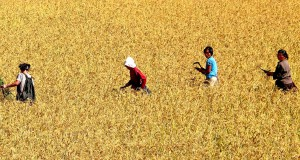 N. Korean rice yields down 12%: UN FAO