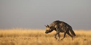 Where does North Korea buy its hyenas?
