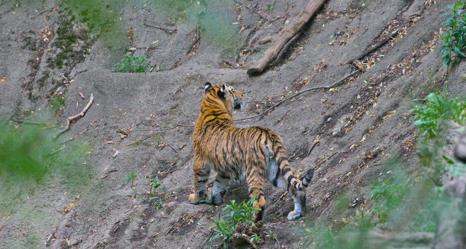 On the hunt for North Korea's last Siberian tigers