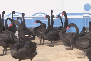 Black swan meat now on the menu in North Korea as food supply problems persist